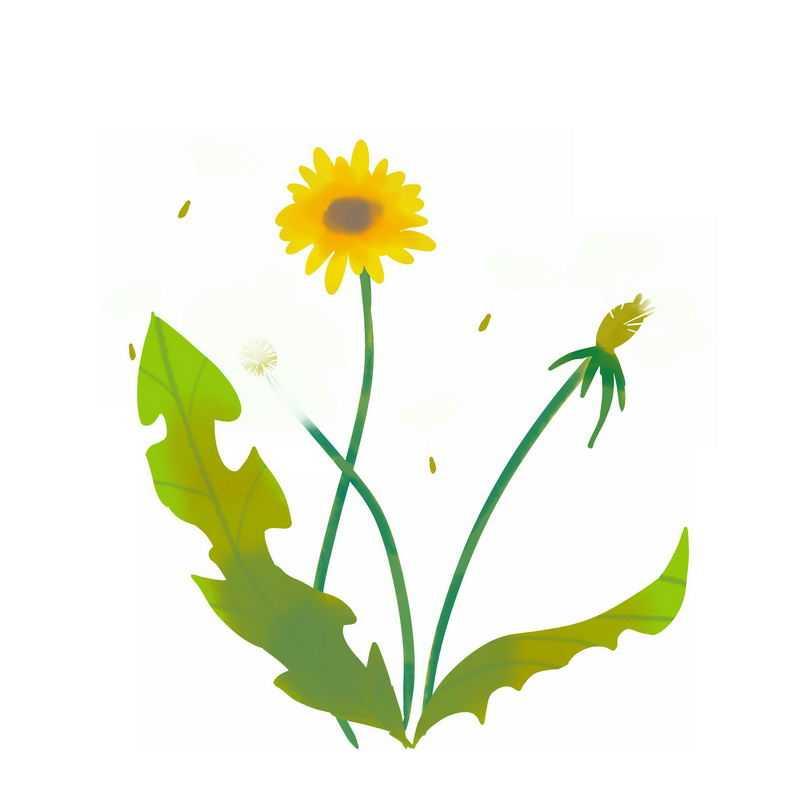 开着黄色小花的蒲公英7408699图片免抠素材