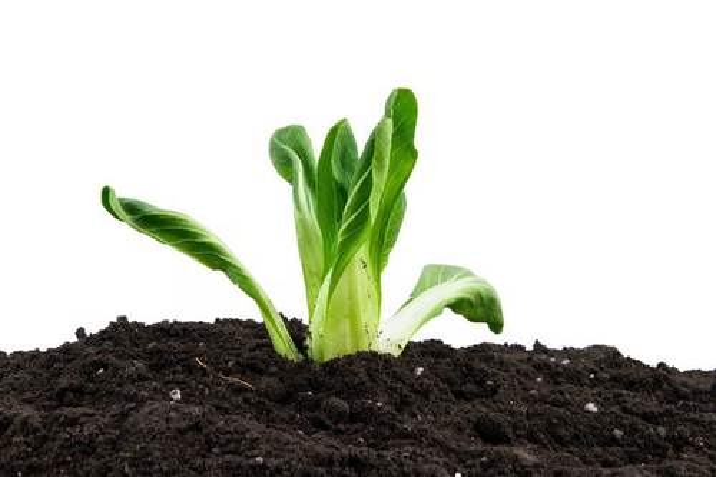 青菜黑土地上播种春季种植5458947png图片免抠素材
