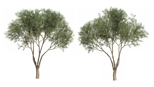 两棵馒头柳大树绿植园林植被观赏植物7693400免抠图片素材 生物自然-第1张