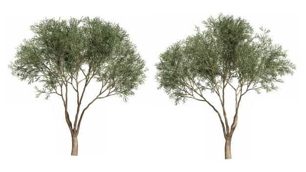 两棵馒头柳大树绿植园林植被观赏植物7693400免抠图片素材