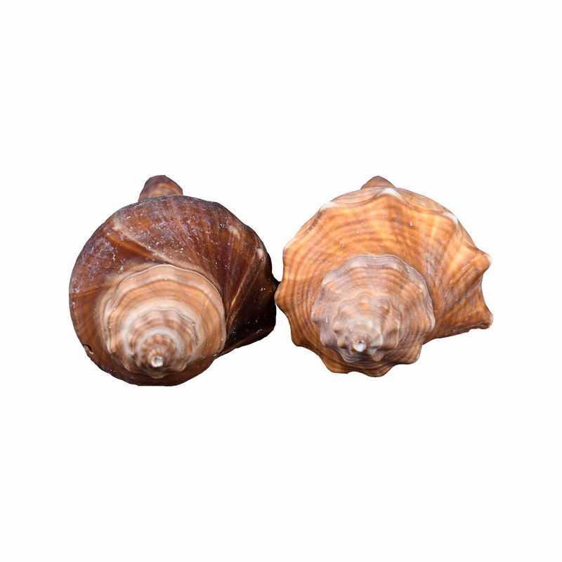 2个海螺海鲜贝壳响螺9590819png图片免抠素材