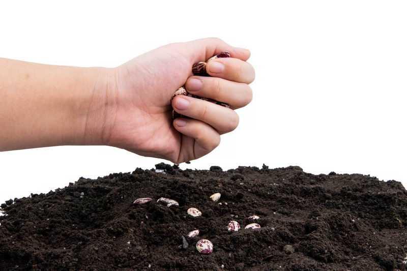 一把蚕豆种子黑土地上播种春季种植8856377png图片免抠素材