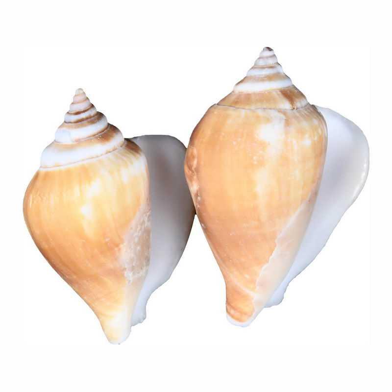 2个海螺海鲜贝壳唐冠螺饴色鬘螺沟纹鬘螺8305269png图片免抠素材