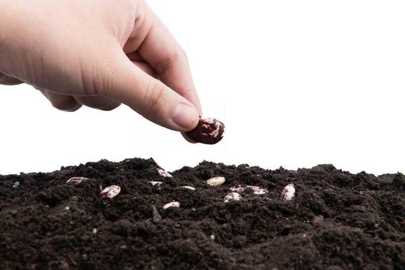 蚕豆种子黑土地上播种春季种植3605776png图片免抠素材