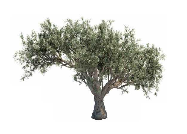 白皮松大树绿植园林植被观赏植物2263065免抠图片素材