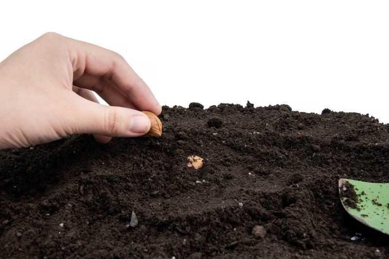 杏仁种子黑土地上播种春季种植3266644png图片免抠素材