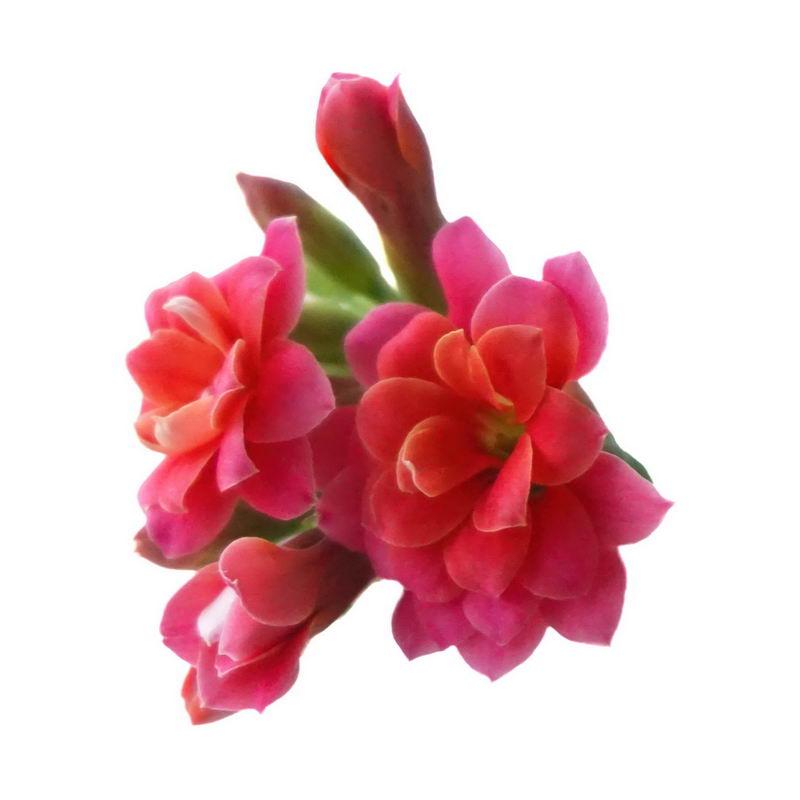 盛开的长寿花红色花朵鲜花花卉6203611png图片免抠素材 生物自然-第1张