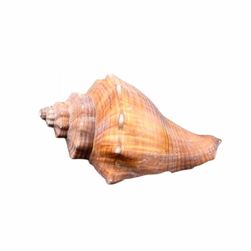 一个海螺海鲜贝壳大赤旋螺4713033png图片免抠素材 生物自然-第1张