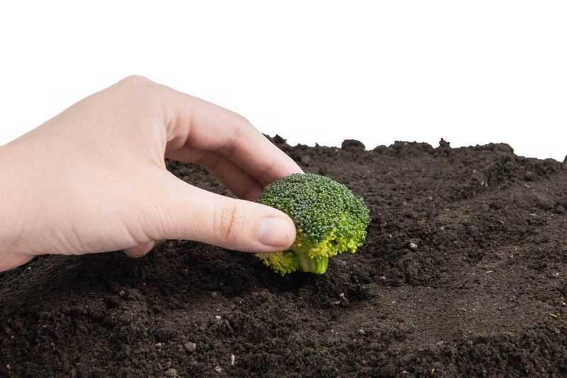 西兰花黑土地上播种春季种植8763499png图片免抠素材