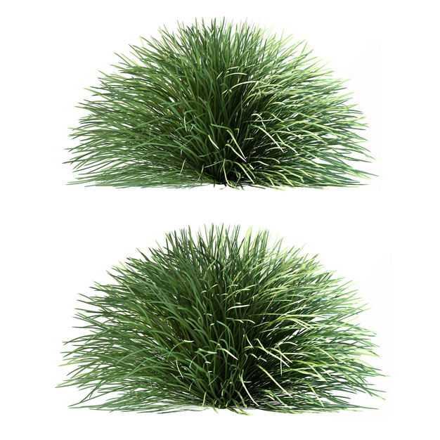 两款金钱蒲蓝羊茅野草茅草观赏植物园林绿植9872024免抠图片素材