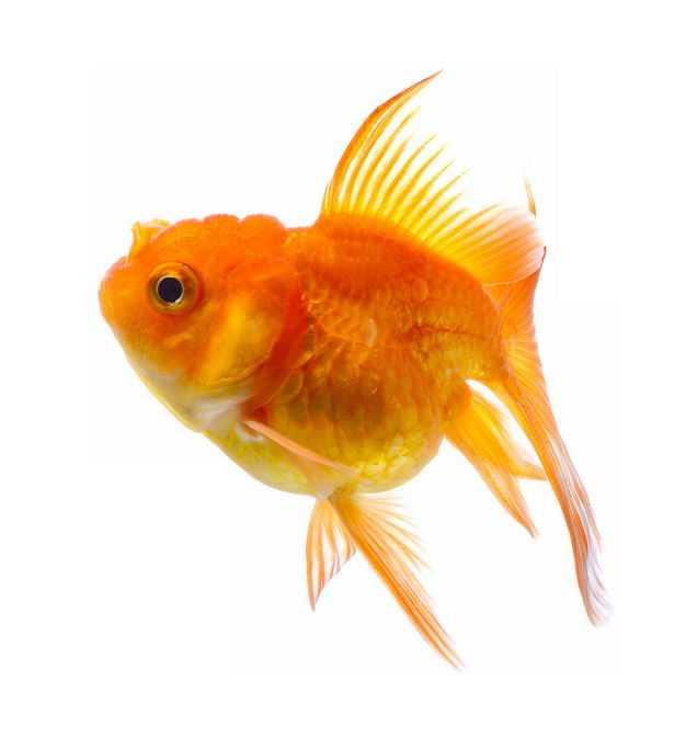 一条漂亮的狮子头金鱼宠物鱼2221949免抠图片素材