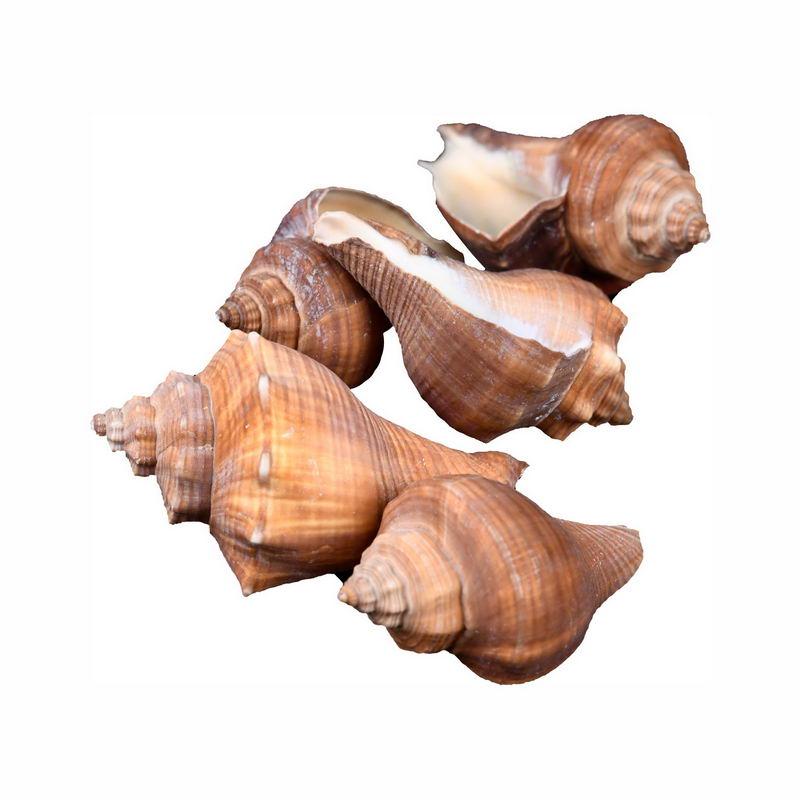 5个海螺海鲜贝壳大赤旋螺3019079png图片免抠素材 生物自然-第1张