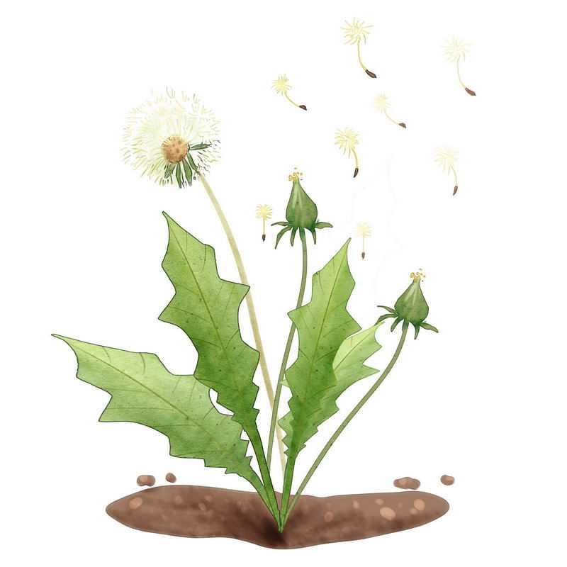 花絮飞舞的蒲公英绿色植物2501700图片免抠素材