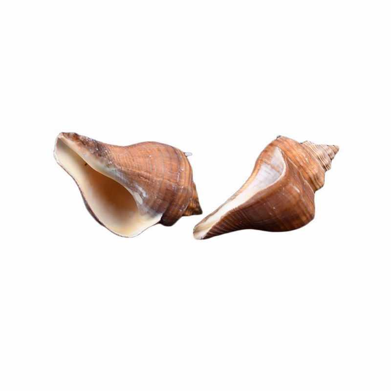 2个海螺海鲜贝壳响螺9145496png图片免抠素材