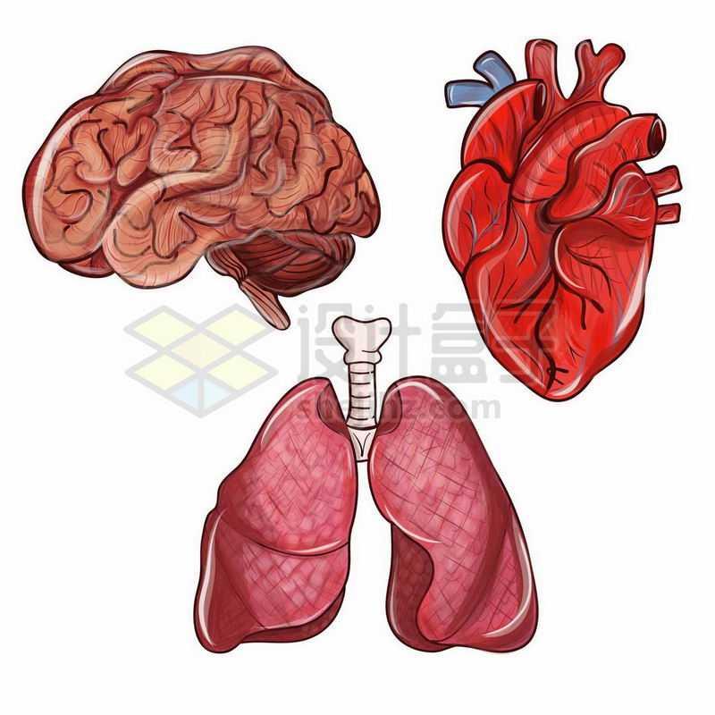 大脑心脏和肺部等人体器官组织1118744矢量图片免抠素材
