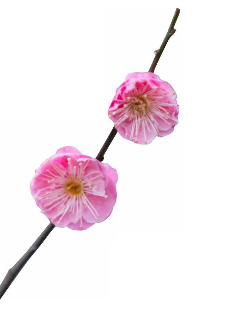 枝头上盛开的两朵粉色梅花花卉花朵3928522png图片免抠素材