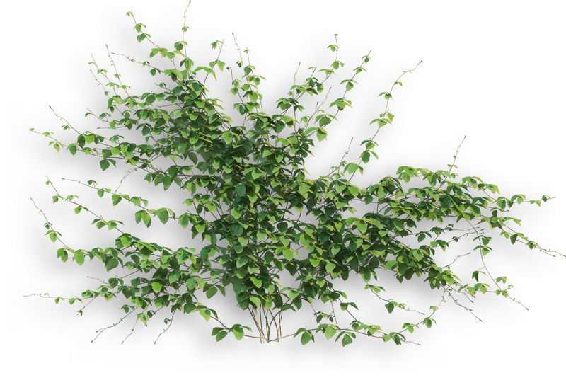一大片异叶地锦藤蔓观叶植物盆栽绿植观赏植物墙7467697免抠图片素材