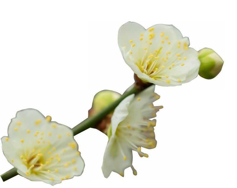 枝头上盛开的绿萼梅绿色梅花花卉花朵8217362png图片免抠素材