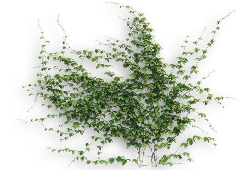 一大片常春藤异叶地锦藤蔓观叶植物盆栽绿植观赏植物墙2056932免抠图片素材