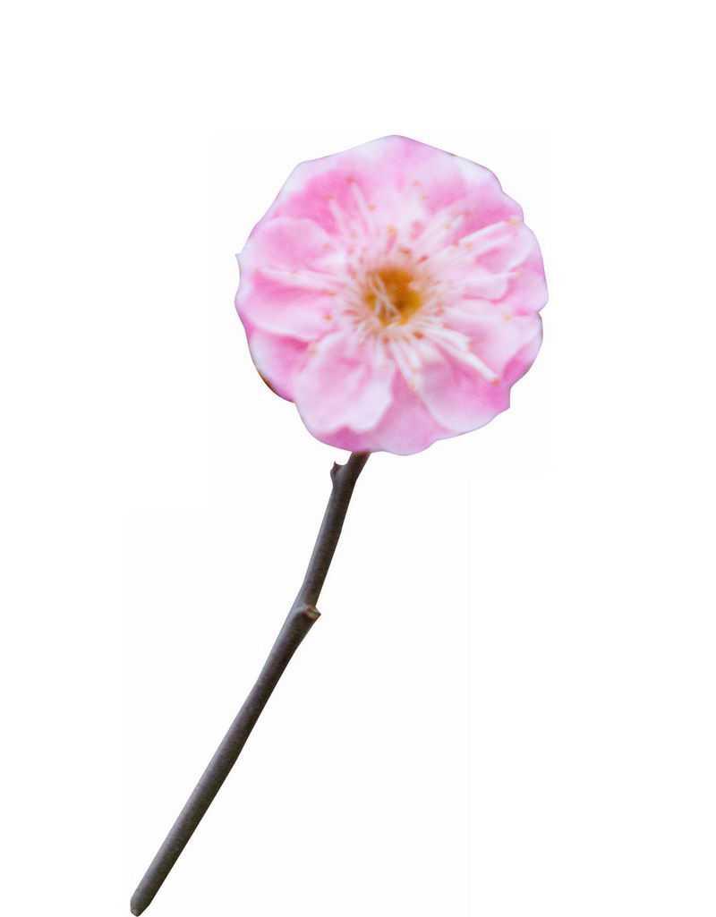枝头上盛开的粉色梅花花卉花朵5146824png图片免抠素材