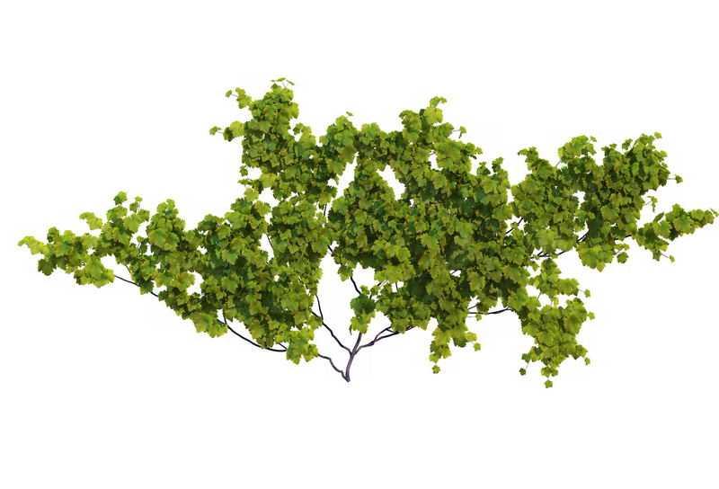1款葡萄藤常春藤观叶植物盆栽绿植观赏植物墙4001796免抠图片素材