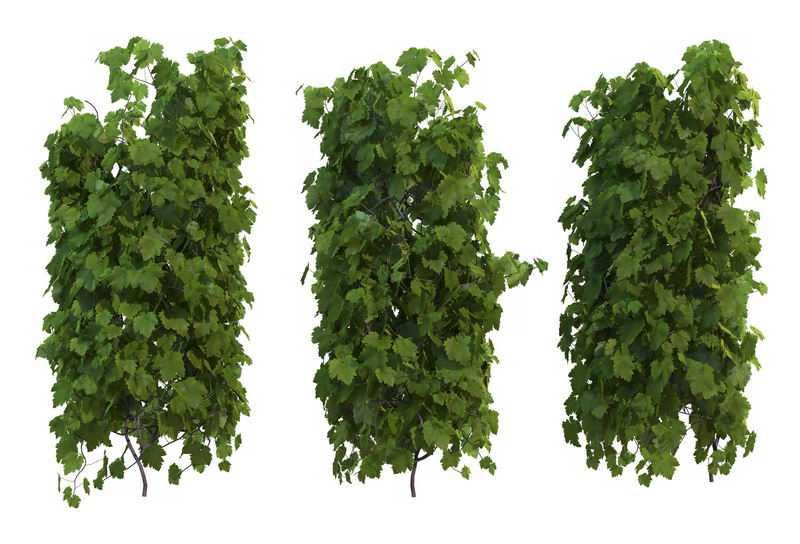 3款爬山虎地锦藤蔓观叶植物盆栽绿植观赏植物墙8300035免抠图片素材
