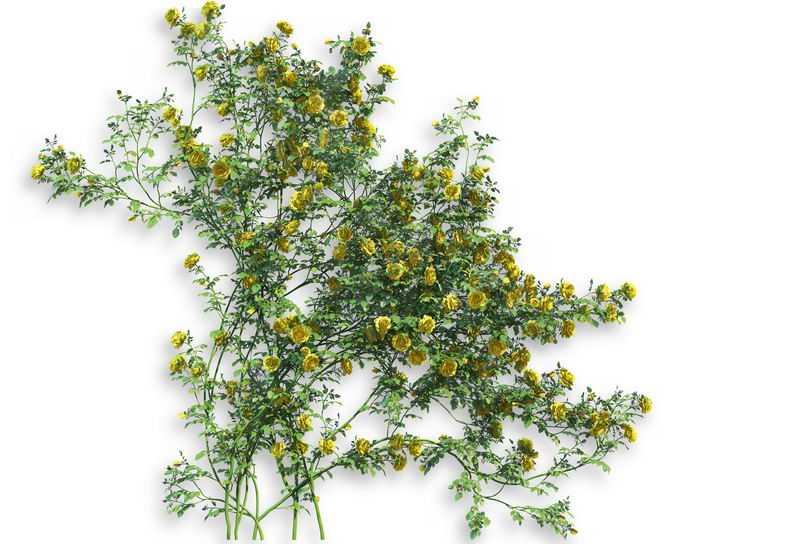 花苜蓿常春藤观叶植物盆栽绿植观赏植物墙2635732免抠图片素材