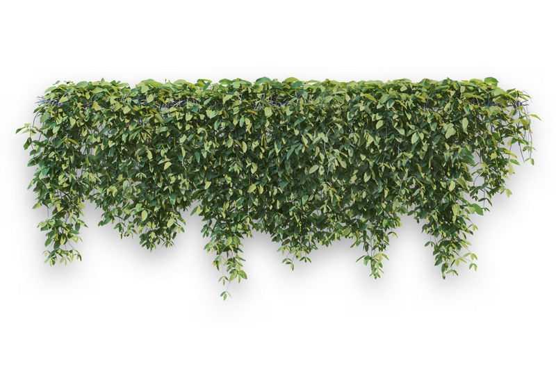 浓密的地锦藤蔓观叶植物盆栽绿植观赏植物墙1412711免抠图片素材