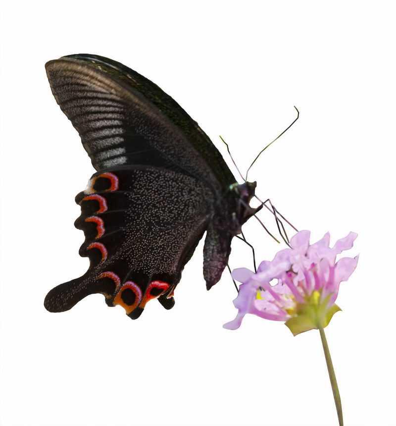 粉色花朵上的黑色蝴蝶5971127png图片免抠素材
