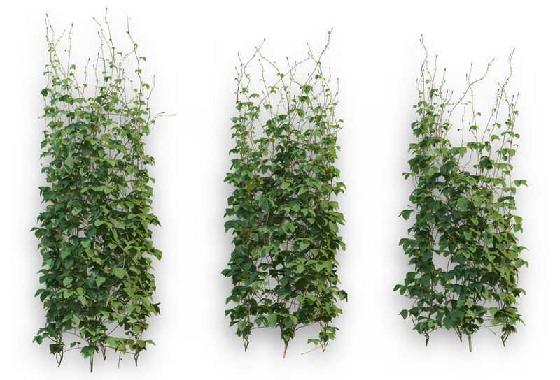 3款爬山虎常春藤异叶地锦藤蔓观叶植物盆栽绿植观赏植物墙2869937免抠图片素材