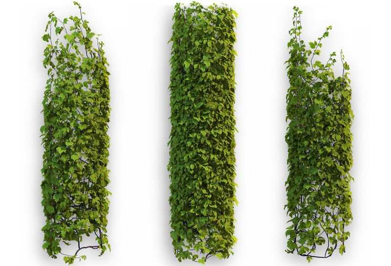 3款爬山虎地锦藤蔓观叶植物盆栽绿植观赏植物墙3928102免抠图片素材