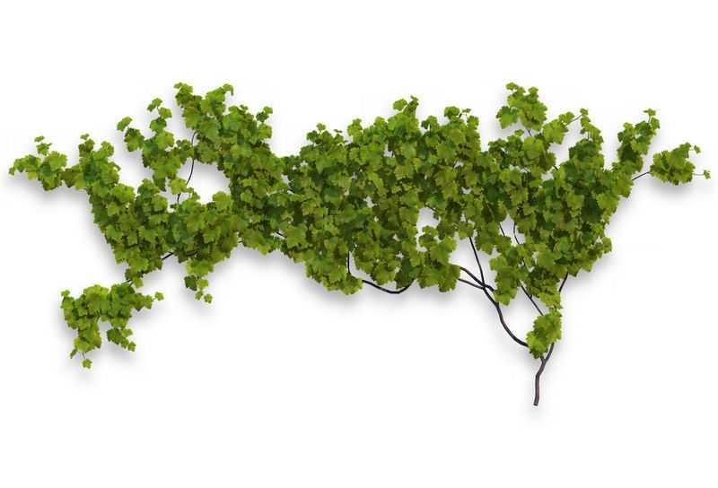 1款葡萄藤常春藤观叶植物盆栽绿植观赏植物墙5083600免抠图片素材