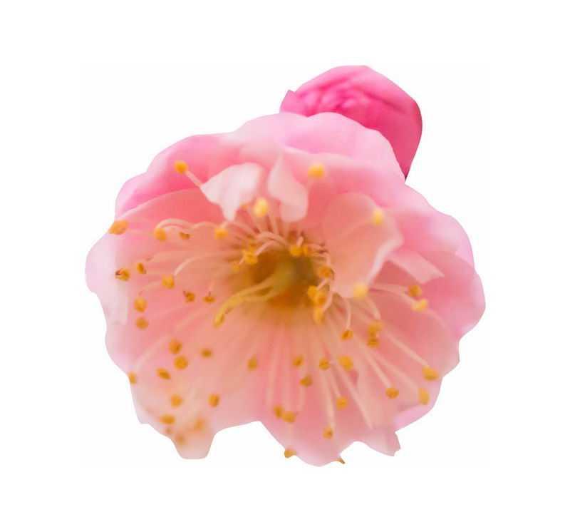 一朵宫粉梅粉红色梅花花卉花朵2122906png图片免抠素材