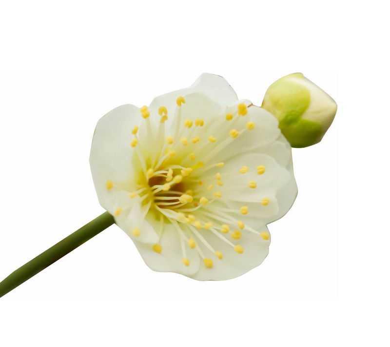 枝头上盛开的绿萼梅绿色梅花花卉花朵7010656png图片免抠素材