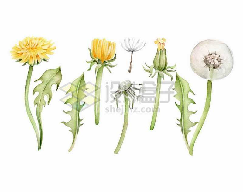 黄色的蒲公英花朵和飞絮5224834矢量图片免抠素材