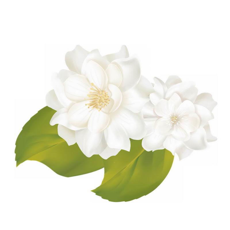 两朵栀子花白蟾白色花朵鲜花8837249免抠图片素材 生物自然-第1张