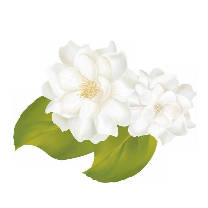 两朵栀子花白蟾白色花朵鲜花8837249免抠图片素材