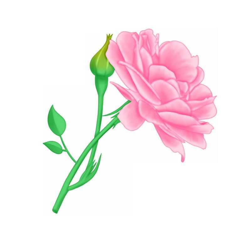 盛开的粉红色蔷薇花玫瑰花2744940图片素材