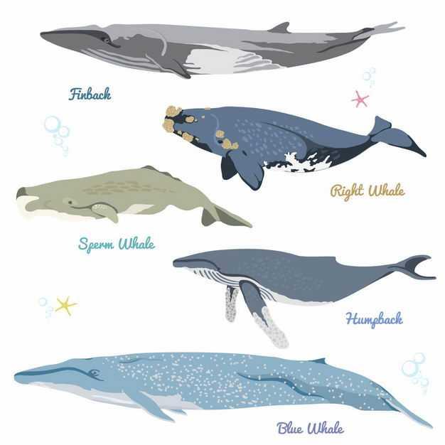 蓝鲸座头鲸灰鲸露脊鲸长须鲸等鲸鱼体型大小对比3246020矢量图片免抠素材