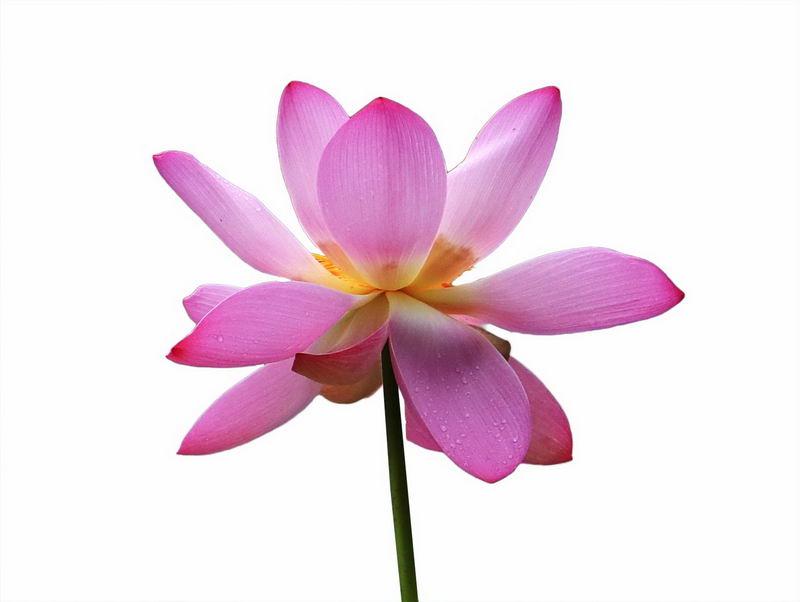 一朵荷花美丽花朵4579961png图片免抠素材 生物自然-第1张