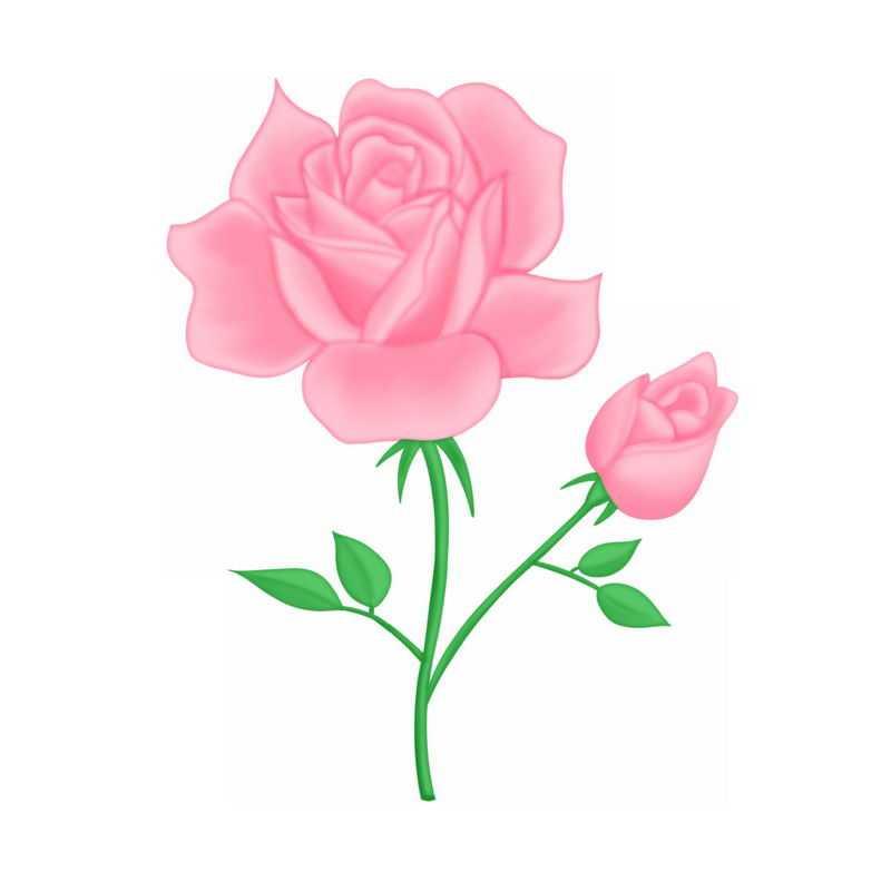 盛开的两朵粉红色蔷薇花玫瑰花3370904图片素材