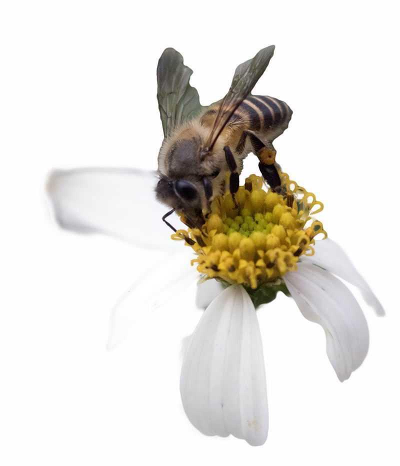 白色花朵上正在采蜜的蜜蜂4596632png图片免抠素材