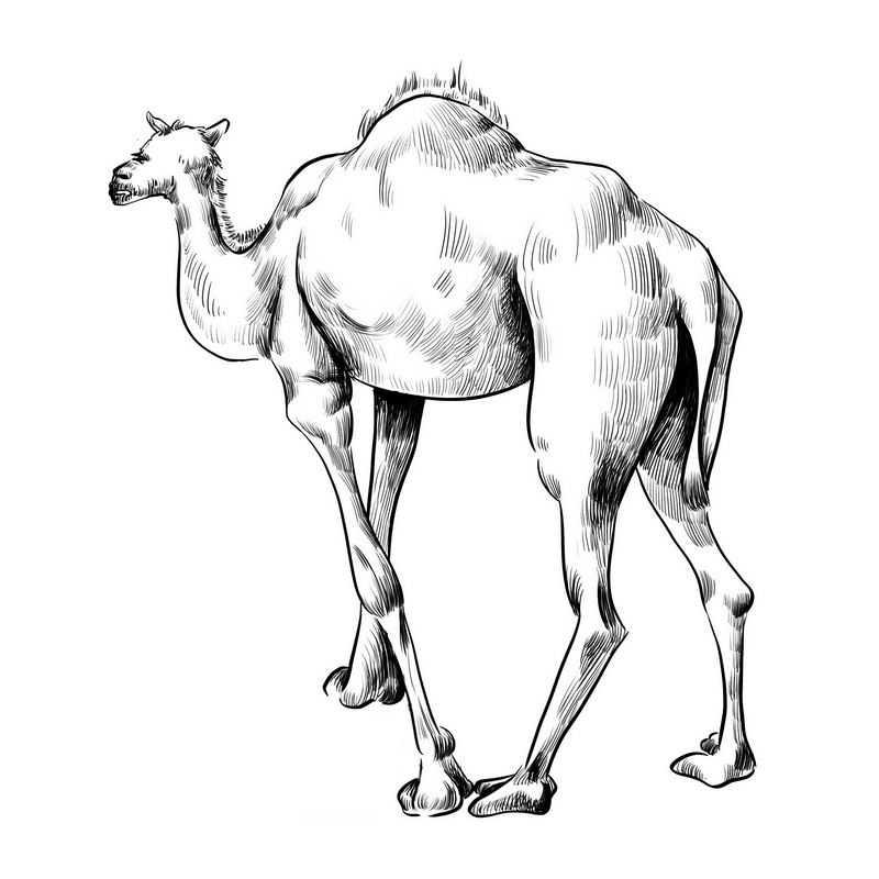 单峰驼手绘黑色线条风格骆驼3879607图片素材