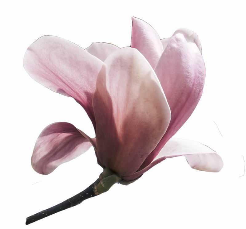 一朵盛开的粉红色玉兰花4790106png图片免抠素材
