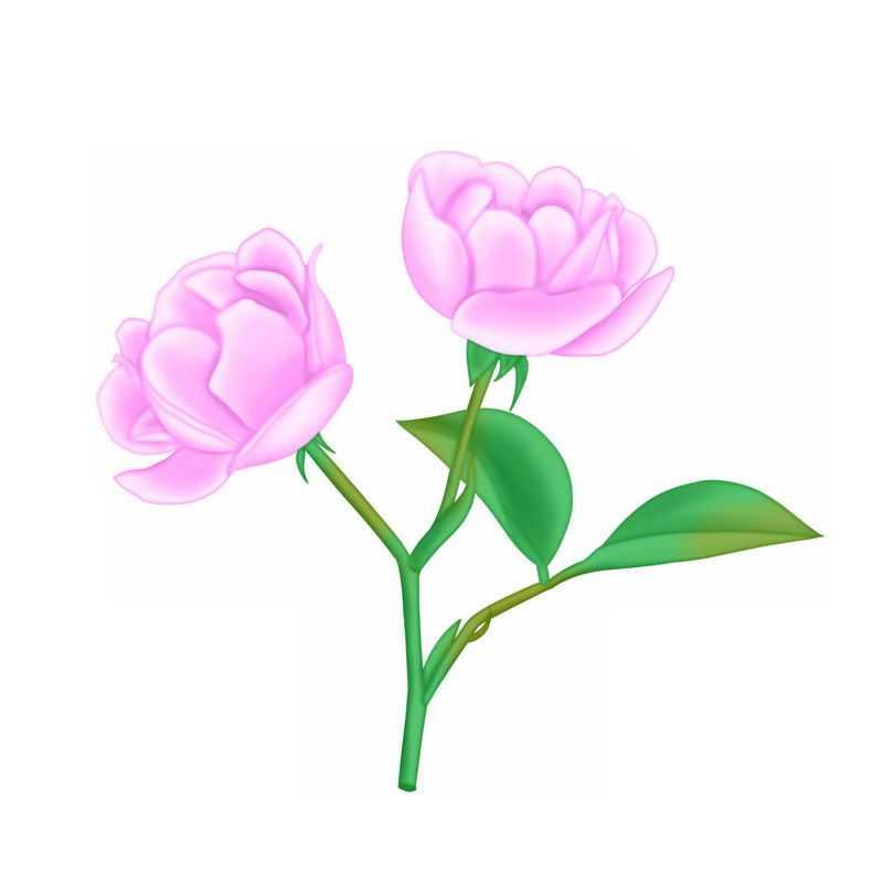 盛开的两朵粉色蔷薇花玫瑰花5575859图片素材
