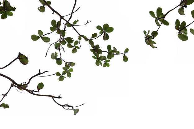 仰视视角的小叶榄仁大树树冠层树枝园林绿植观赏树木3168010免抠图片素材