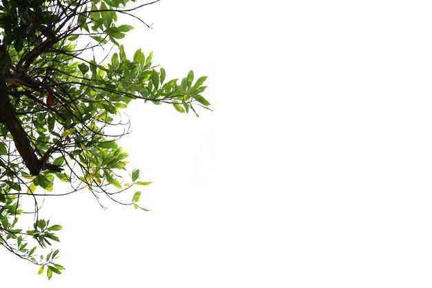 翠绿色的杜英树冠叶子枝条树枝园林绿植观赏树木9054943免抠图片素材