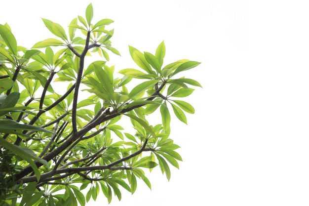 翠绿色的鸡蛋花树树冠叶子枝条树枝园林绿植观赏树木3047187免抠图片素材