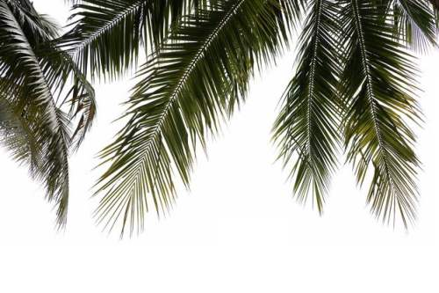 椰子树叶子装饰2066697免抠图片素材