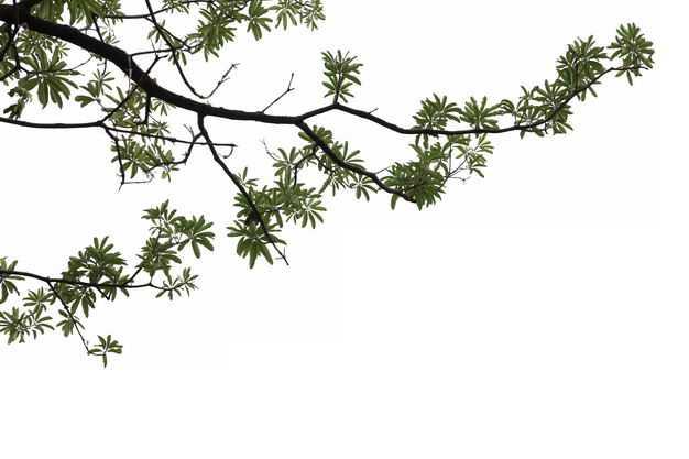 仰视视角的糖胶树大树树冠层园林绿植观赏树木5772920免抠图片素材